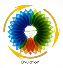 Ovulation Cycles