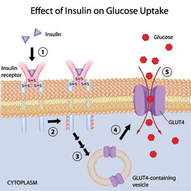 Insulin Resistant Cells