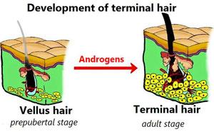 Development Of Terminal Hair