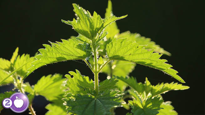 Stinging Nettle is a Powerful Plant for PCOS.